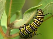 Close Up Of Caterpillar