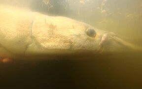Tracking Along Alligator Gar