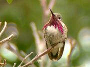 Male Calliope Hummingbird