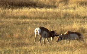 Pronghorn Antelopes Rutting