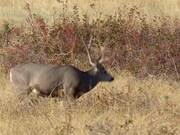 Mule Deer Grazing on Prairie
