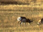 Pronghorn Antelopes Rutting