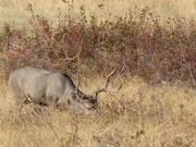 Mule Deer Grazing on Prairie