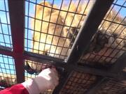 Lion Feedings At Safari Park