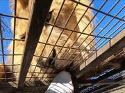 Lion Feedings At Safari Park