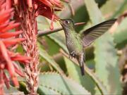 Hummingbird in Santiago