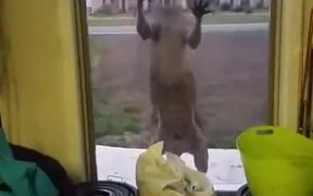 Kangaroo Wants To Come Inside And Chill!