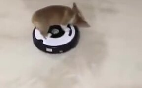 Corgi Puppy Is Very Unhappy About The Robot!