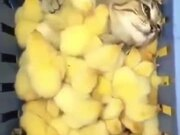 Cat Getting Some Chick Spa Treatment