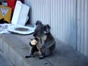 Koala Learned The Ways Of Homeless People