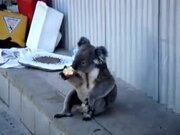 Koala Learned The Ways Of Homeless People