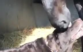Dog Gets Head Scratches From A Horsie
