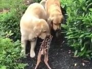 Fawn Makes Friends With Golden Retrievers