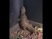 Lizard Twerking