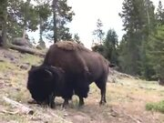 Bison Are Not Animals To Be Fooled Around