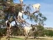 Are These Goats Or Monkeys?!