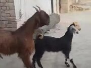 These Goats Can Knock Up A Dance Floor