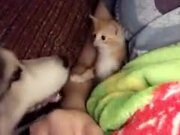 Kitten Is Tired Of Dog Investigating It