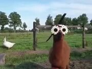 Alpaca Is Too Cool For The Town Life