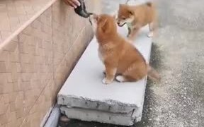 Tiny Puppies Meet Each Other And Kiss
