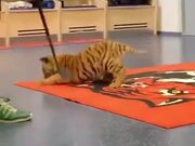 Tigers Are Just Huge Cats