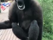 This Gibbon Is Having A Good Time