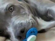 Adorable Little Puppy's Nap Time