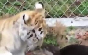 Baby Otters Vs Baby Tiger