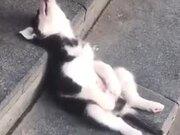 Baby Husky Grabbing A Quick Nap