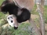 Pandas Are The Clumsiest Animal Earth