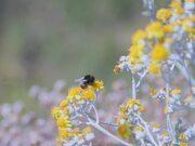 Bumble Bee Gathering Nectar