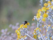 Bumble Bee Gathering Nectar