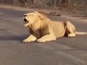 Here We Have A Gargling Lion