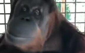 Orangutans Can Pick Up Human Habits Easily