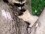 Raccoon Giving Premium Head Scratches To A Kitten