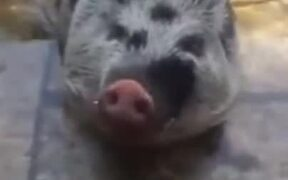 Cute Piggy Loves Making Bubbles In The Water