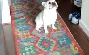 Bulldog Engages In A Staring Contest