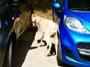 Do Insurance Companies Cover Angry Goat Attacks?