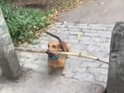 This Dog Just Will Not Give Up