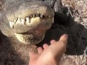 Alligators Like Belly Rubs And Scratches Too