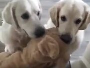 Cute Dogs Arguing About A Toy