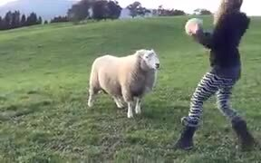 Sheep Are As Playful As Dogs
