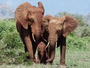 The Elephant Queen Trailer