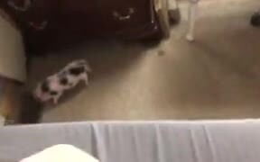 Little Pig Rampaging Around And Scaring The Dog