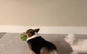 Corgi Uses Its Bum For Defense