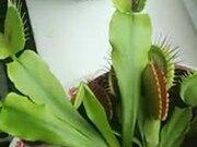 The Wonderful Venus Flytrap Plant