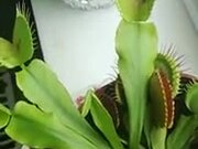 The Wonderful Venus Flytrap Plant