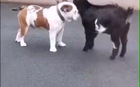 Goat Vs Dog