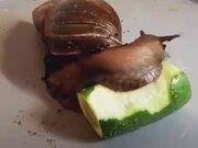 A Snail Eating Cucumber