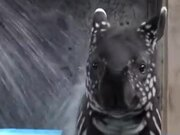 A Baby Tapir Is Adorable
